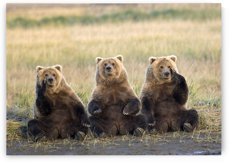 Three Grizzlies Sitting In Meadow Scratching Faces Katmai National Park Alaska Composite by PacificStock