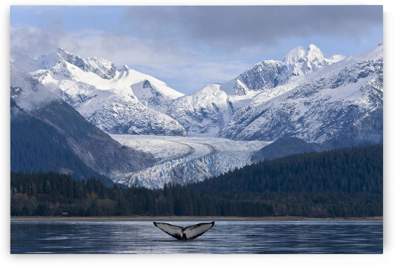 The Fluke Of A Humpback Whale Emerges Briefly From The Water Near Herbert Glacier. Summer In Southeast Alaska. Composite. by PacificStock