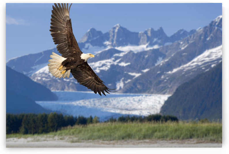 Bald Eagle In Flight With Mendenhall Glacier In Background Tongass National Forest Inside Passage Southeast Alaska Summer Composite by PacificStock