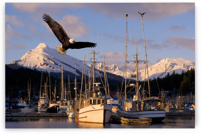 Bald Eagle In Flight Through Auke Bay Boat Harbor Juneau Alaska Composite by PacificStock
