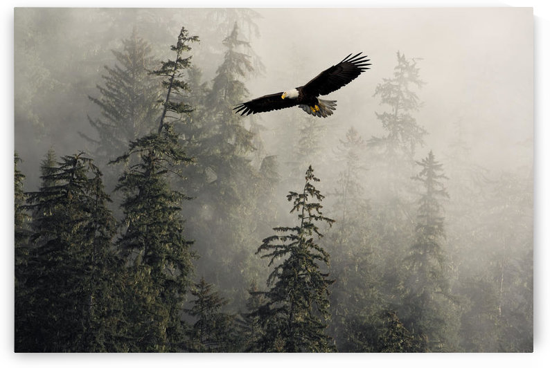 Bald Eagle Soaring In Flight Through Misty Tongass Nat Forest Se Alaska Summer Composite by PacificStock