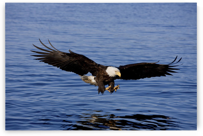 A Bald Eagle Swoops In With Talons Extended Just Before Catching A Fish From The Ocean In Southeast, Alaska. by PacificStock