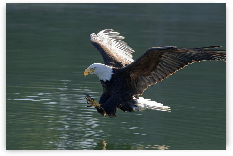 Close Up Of A Bald Eagle Catching A Fish Out Of The Inside Passage Waters Of Southeast Alaska by PacificStock