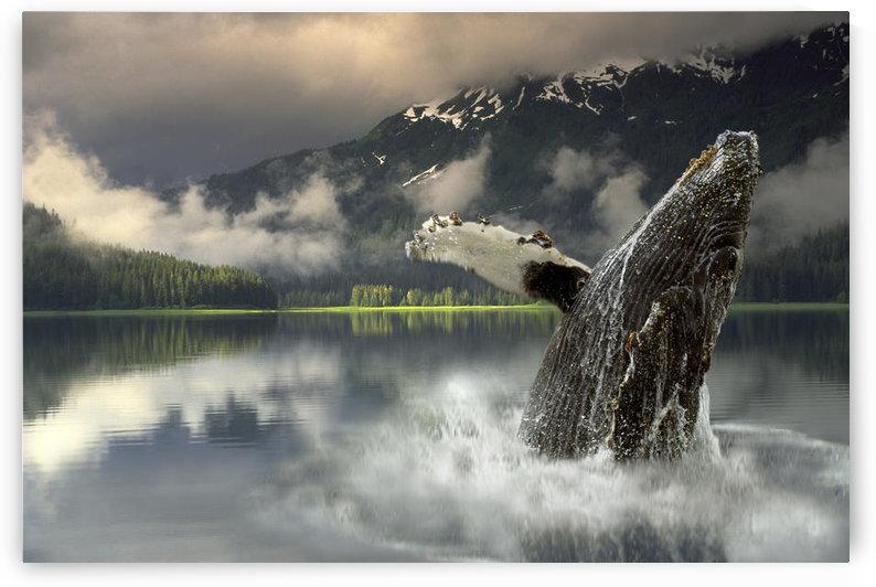 Humpback Whale Breaching Southeast Ak Digital Image Summer Portrait Composite by PacificStock