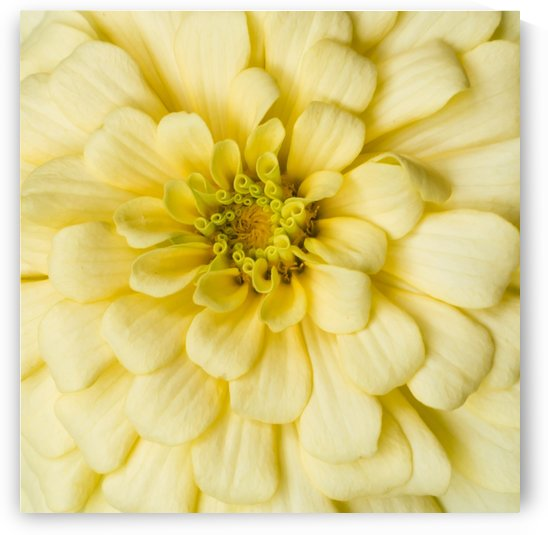 Zinnia Color Burst by Melody Rossi