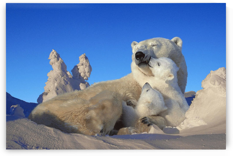 Polar Bear Sow & Cubs Resting In Snow Churchill Canada Composite by PacificStock
