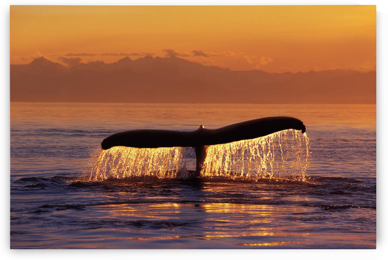 Humpback Whale Fluke @ Sunset Inside Passage Se Ak Summer by PacificStock