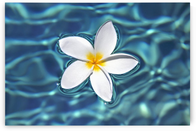 Plumeria flower floating in clear blue water. by PacificStock