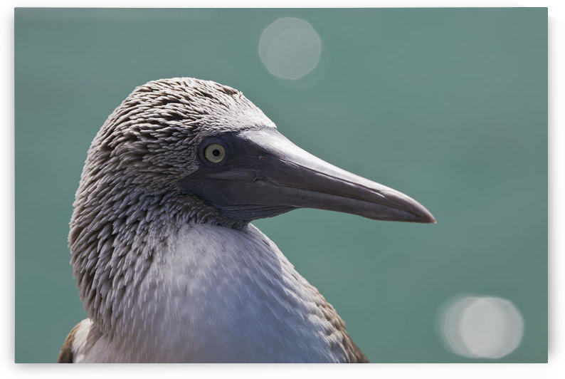 Ecuador, Galapagos Islands, Detail shot of a blue footed booby (Sula nebouxii excisa). by PacificStock