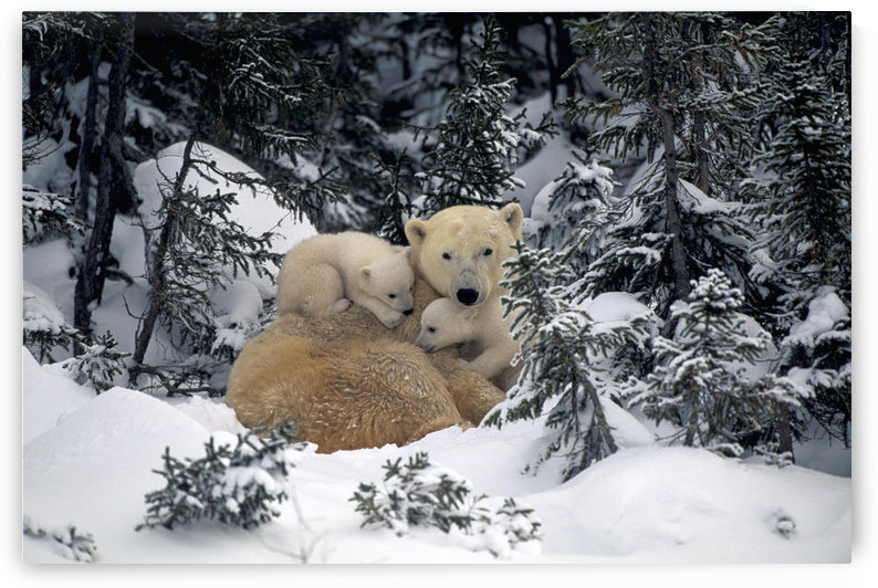 Polar Bear Mother & Cubs Cuddling Together In Forest Churchill Canada Spring by PacificStock