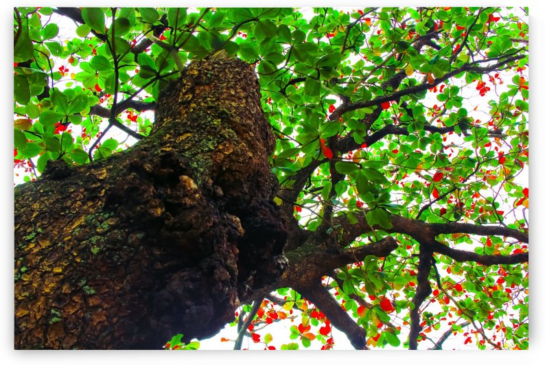 big tree with green leaves and red leaves by TimmyLA