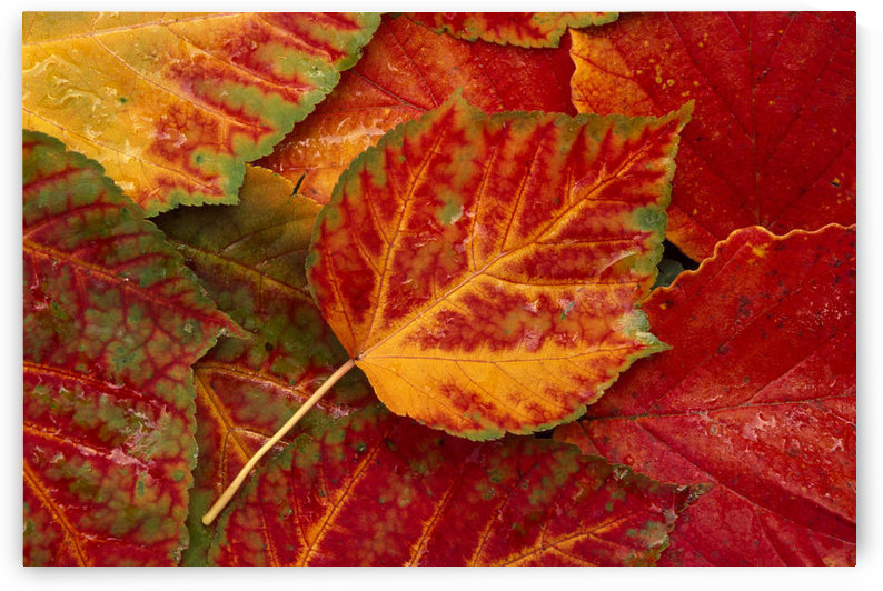 Stripebark Maple Leaf Fall Close-Up by PacificStock
