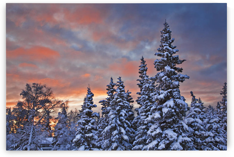 View Of Snow Covered Spruce Trees In A Rural Area Of Anchorage At Sunset, Southcentral Alaska, Winter by PacificStock