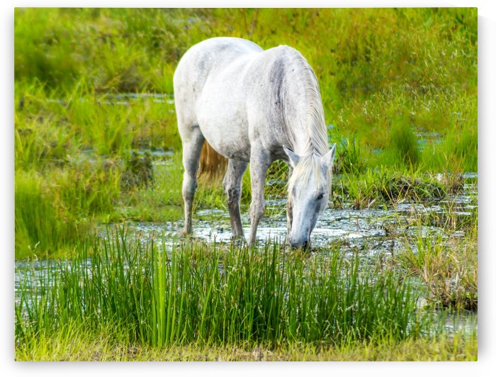 Wild Wetland Stallion by Melody Rossi