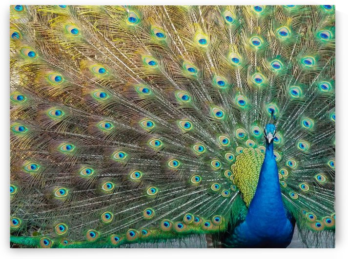 Peacock Feathers Full Frame by Melody Rossi