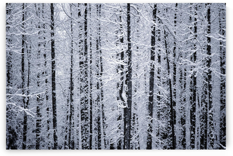 Snowcovered Cottonwood Trees Girdwood Southcentral Alaska Winter by PacificStock