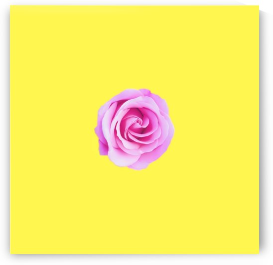 closeup pink rose with yellow background by TimmyLA