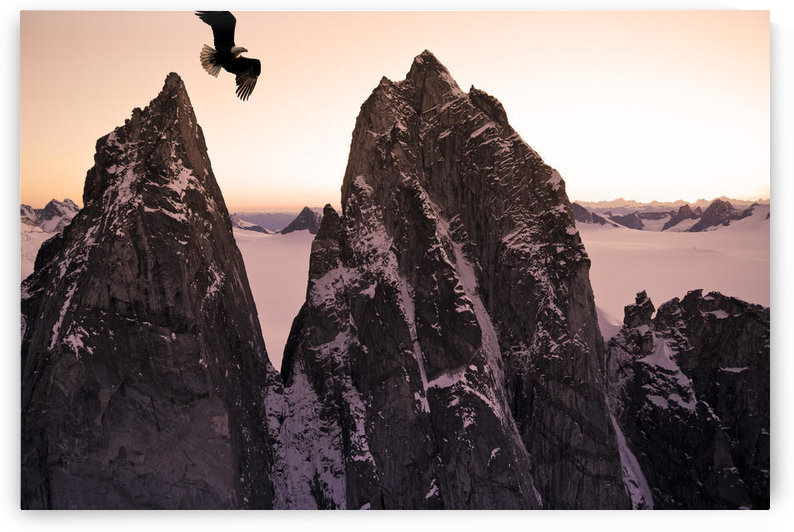 Bald Eagle Flying Past Taku Towers On The Juneau Ice Field At Sunset, Alaska. Composite by PacificStock