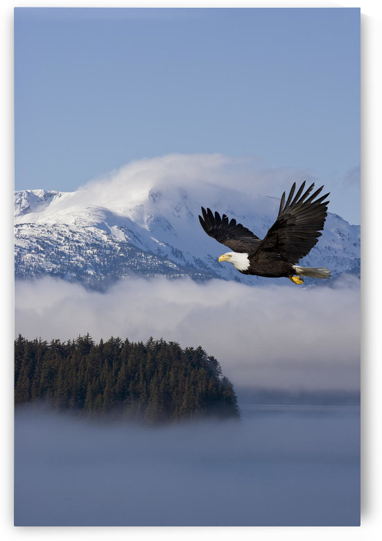 Bald Eagle In Flight Over The Inside Passage With Tongass National Forest In The Background, Alaska, Composite by PacificStock
