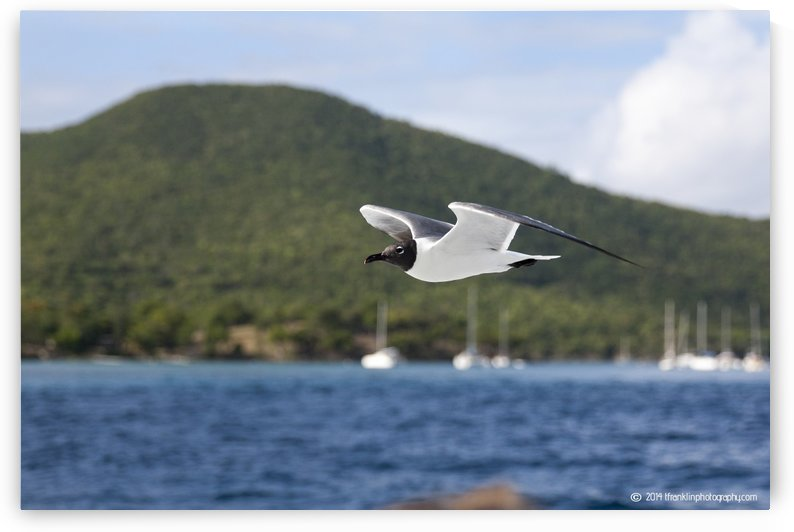 Laughing Tern in Flight by T Franklin Photography