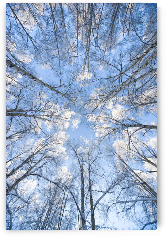 Looking Up Through Hoarfrost Covered Birch Trees In Russian Jack Park, Anchorage, Alaska by PacificStock
