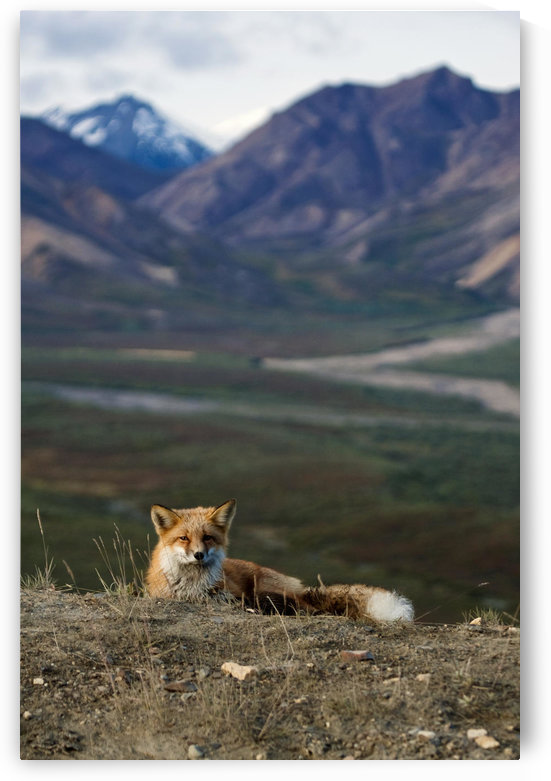View Of A Red Fox Resting Near Polychrome Pass, Denali National Park, Interior Alaska, Autumn by PacificStock