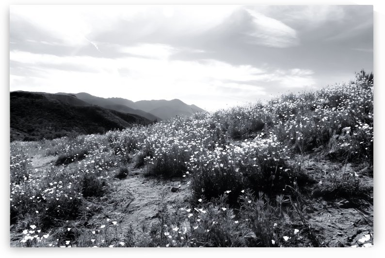 poppy flower field with mountain and cloudy sky in black and white by TimmyLA