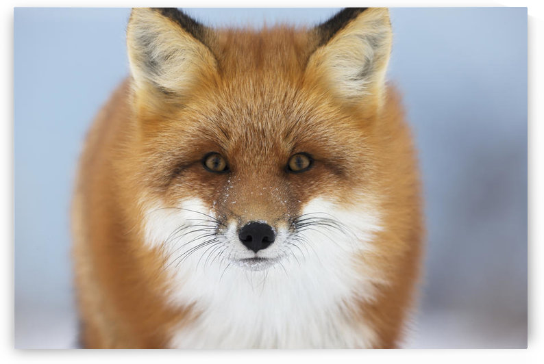 Red Fox Staring At The Camera;Churchill Manitoba Canada by PacificStock