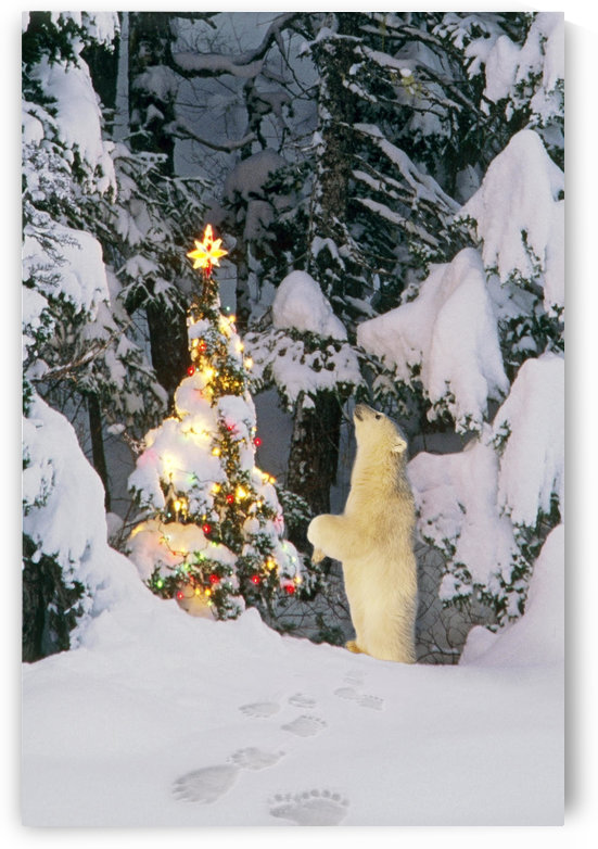 Polar Bear Cub Standing On Hind Legs Looking @ Star On Christmas Tree In Forest Alaska Winter Composite by PacificStock
