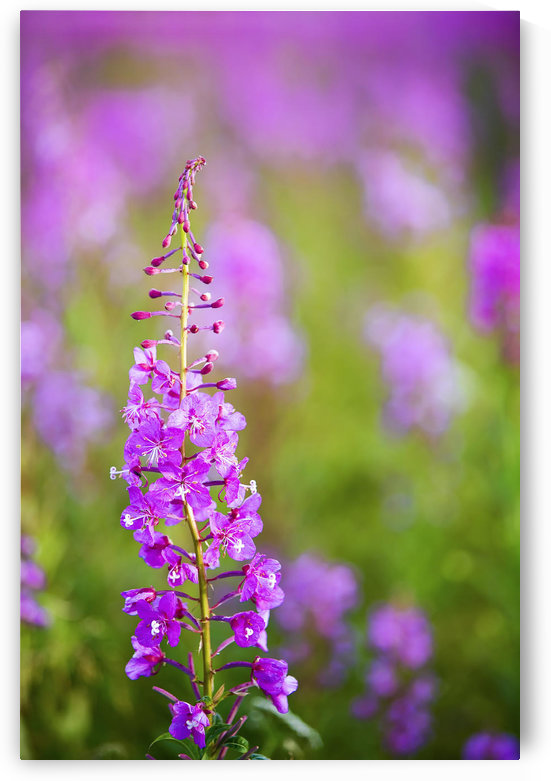 Fireweed Detail Near Anchor Point On The Kenai Peninsula In Southcentral Alaska. by PacificStock