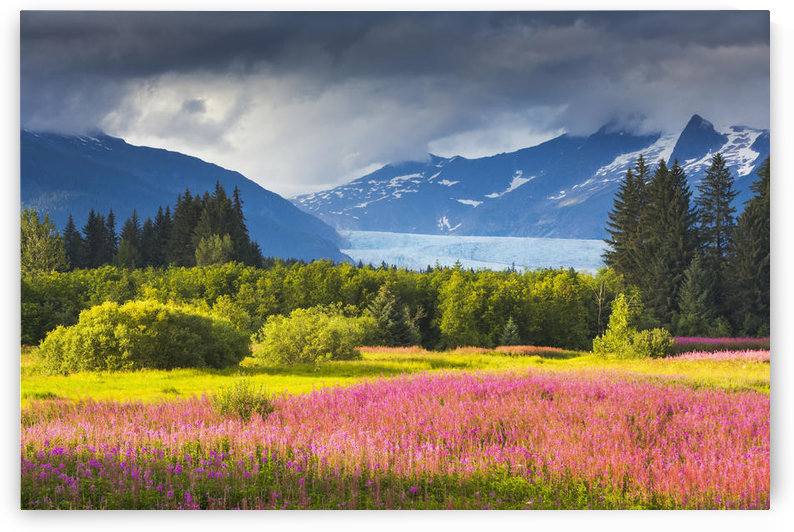Scenic view of the Coast mountains and Mendenhall glacier with Fireweed in full bloom in Brotherhood Park, Juneau, Southeast Alaska. by PacificStock