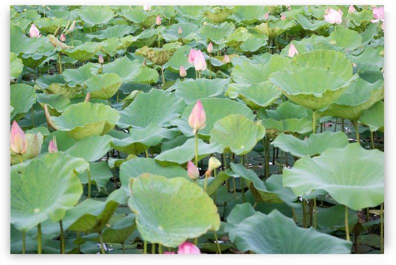water lilies in sukhothai in thailand by Babetts Bildergalerie