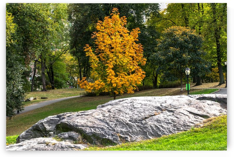 A Yellow Tree in Central Park by vincenzo