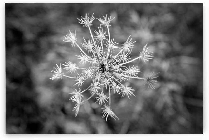 Winter Dandelion by Alek MacRae