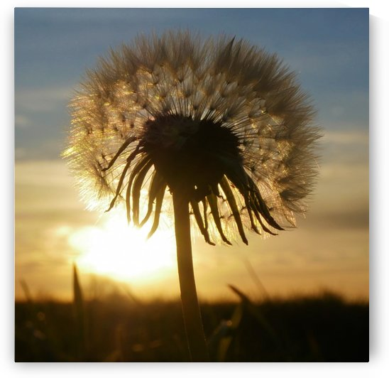 Dandelion by Andy Jamieson