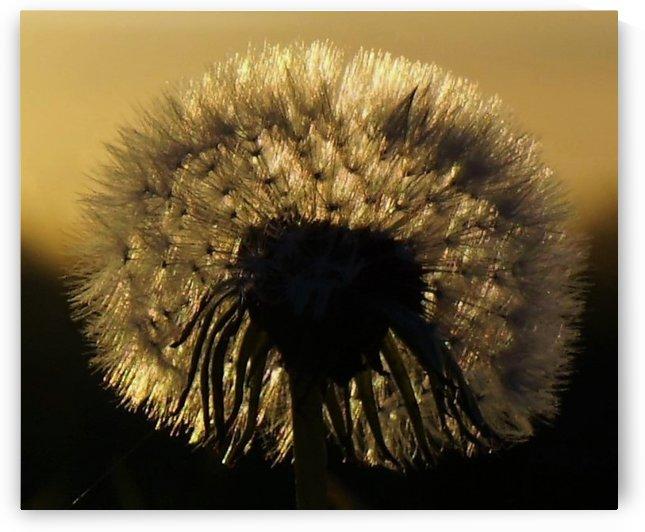 Dandelion by Andy Jamieson