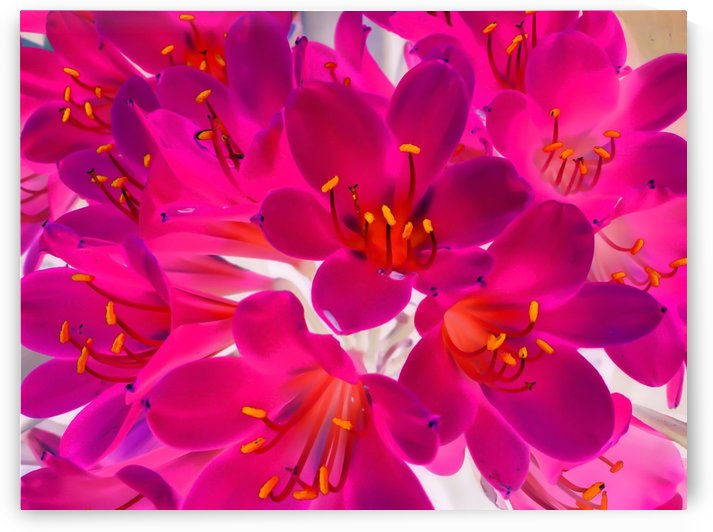 closeup pink flower texture abstract background with orange pollen by TimmyLA