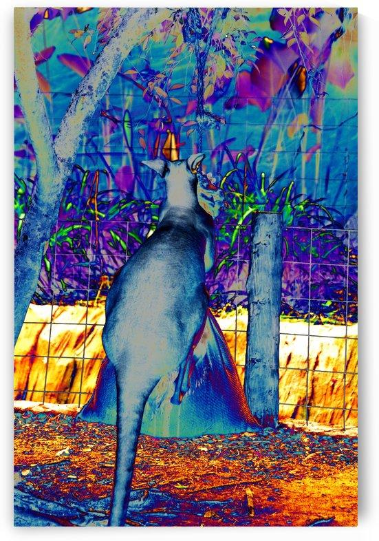 Kangaroo kickboxing a sack. by Alan Skau