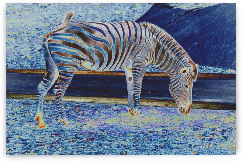 Zebra grazing. by Alan Skau