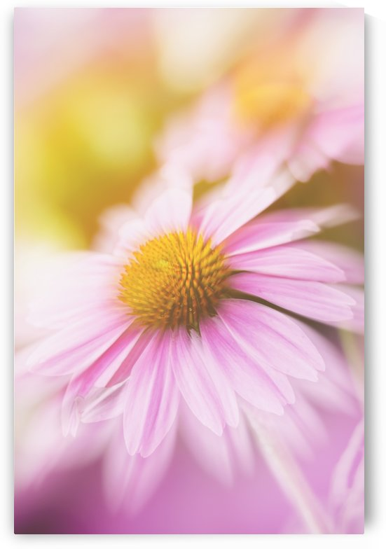 Dreamy Pink Coneflower  by SharaLee Art