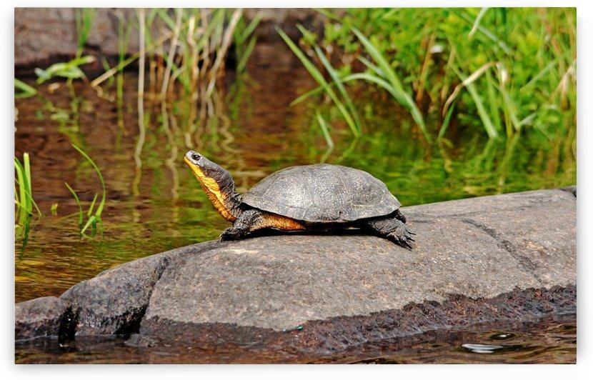 Basking Blandings Turtle by Deb Oppermann