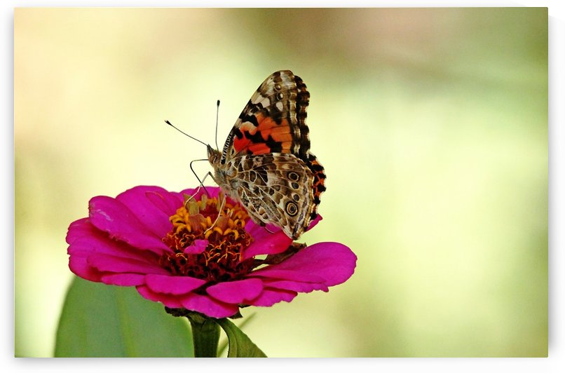 Painted Lady On Pink Zinnia by Deb Oppermann