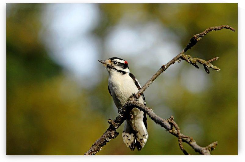 Downy Woodpecker In Fall by Deb Oppermann