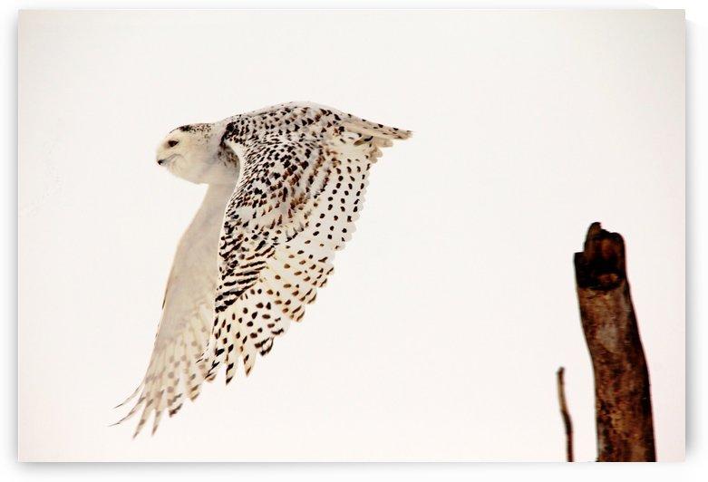 Snowy Owl In Flight by Deb Oppermann