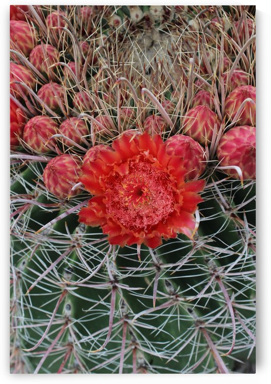 Blooming Barrel Cactus by Meridith Heimer