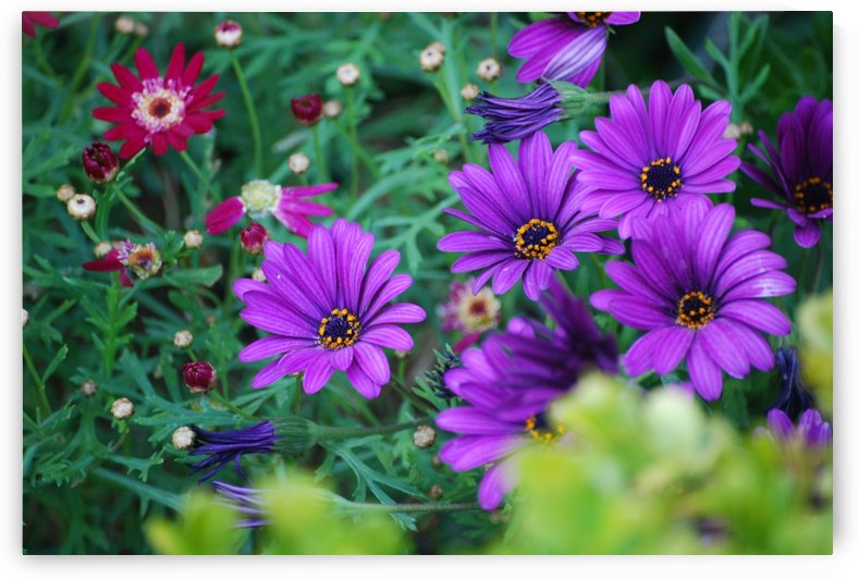 Purple Flowers in Dana Point CA by Darryl Green