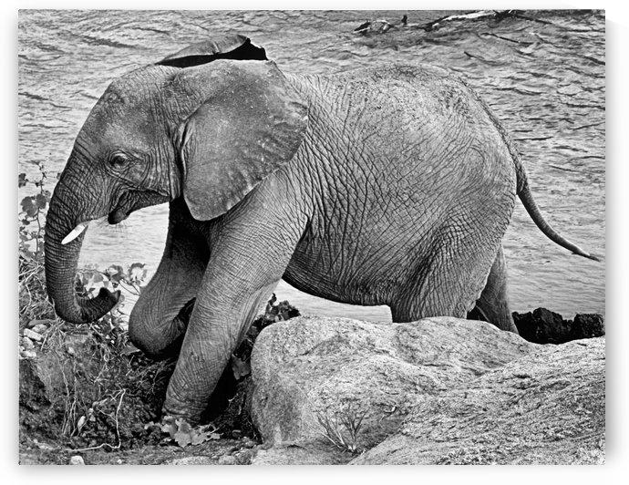 Elephant Baby by D de G