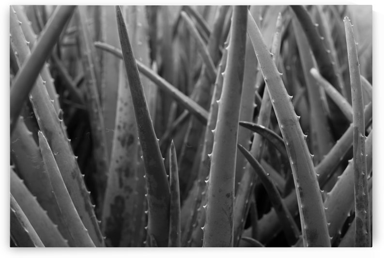 Aloe by BRS Photography