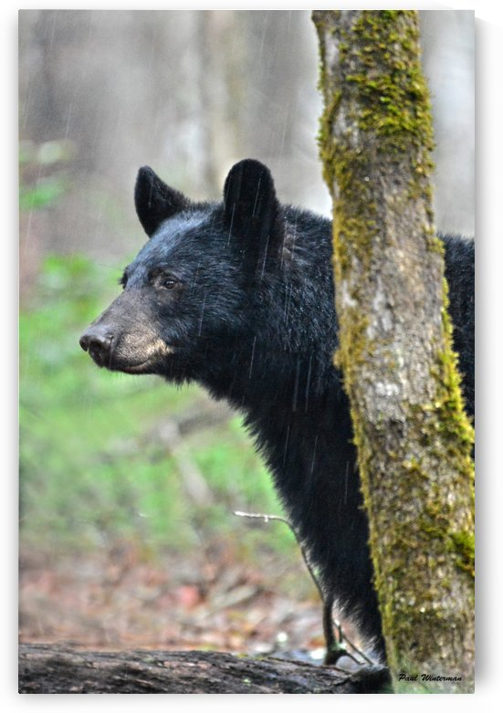 224-Bear Face by Paul Winterman