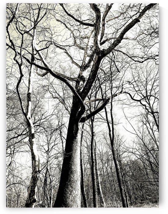 The Sycamore Trees by Michael Trego